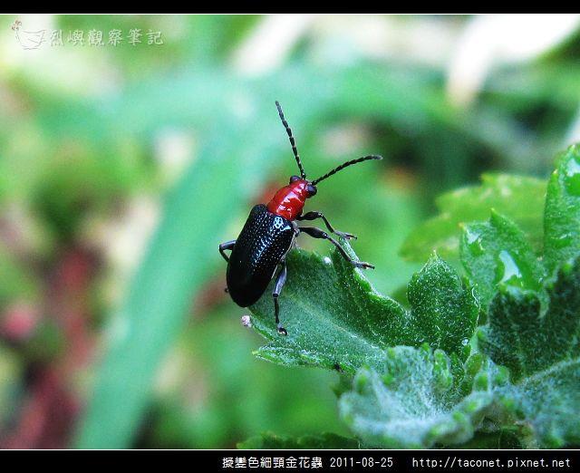 擬變色細頸金花蟲_06.jpg