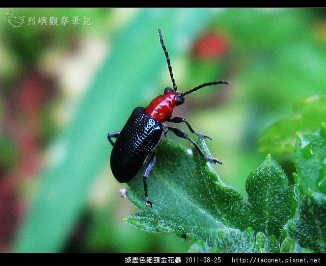 擬變色細頸金花蟲_05.jpg