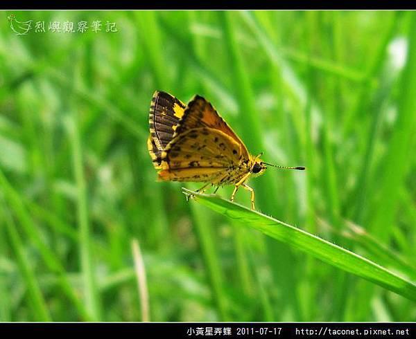 小黃星弄蝶_04.jpg
