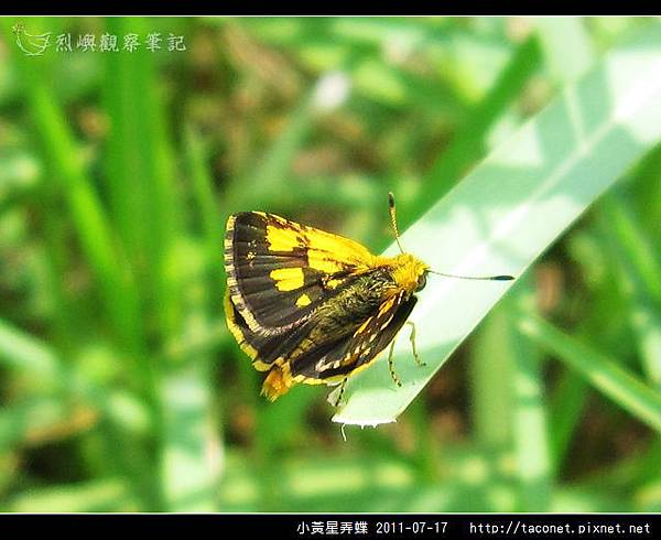 小黃星弄蝶_05.jpg