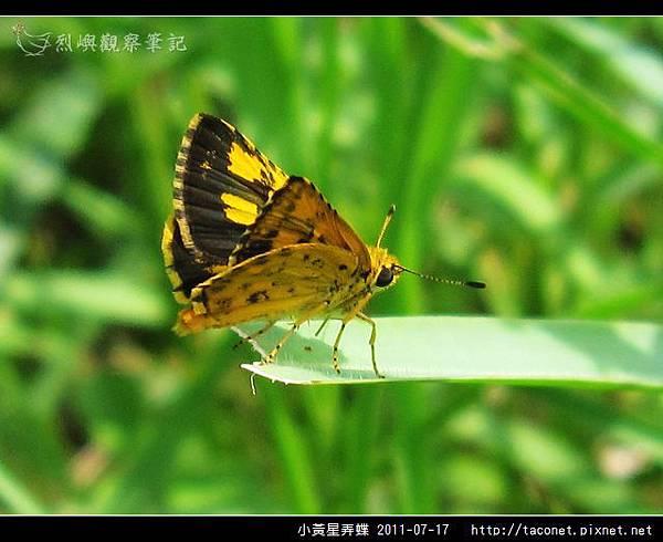 小黃星弄蝶_06.jpg