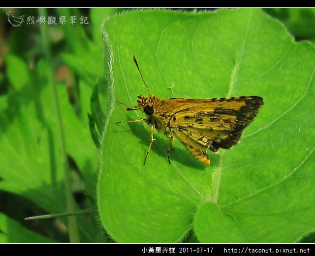 小黃星弄蝶_08.jpg