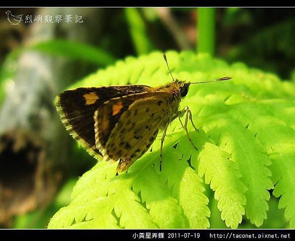 小黃星弄蝶_10.jpg