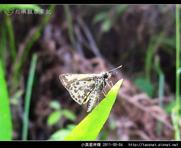 小黃星弄蝶_11.jpg