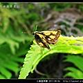 小黃星弄蝶_13.jpg
