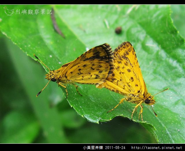 小黃星弄蝶_14.jpg