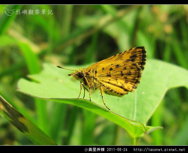 小黃星弄蝶_15.jpg
