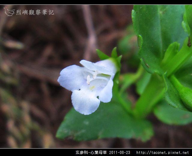 玄參科-心葉母草_06.jpg
