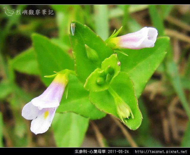 玄參科-心葉母草_09.jpg