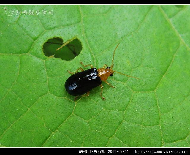 鞘翅目-黑守瓜_09.jpg
