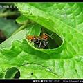 鞘翅目-黃守瓜_07.jpg