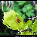 鞘翅目-黃守瓜_09.jpg