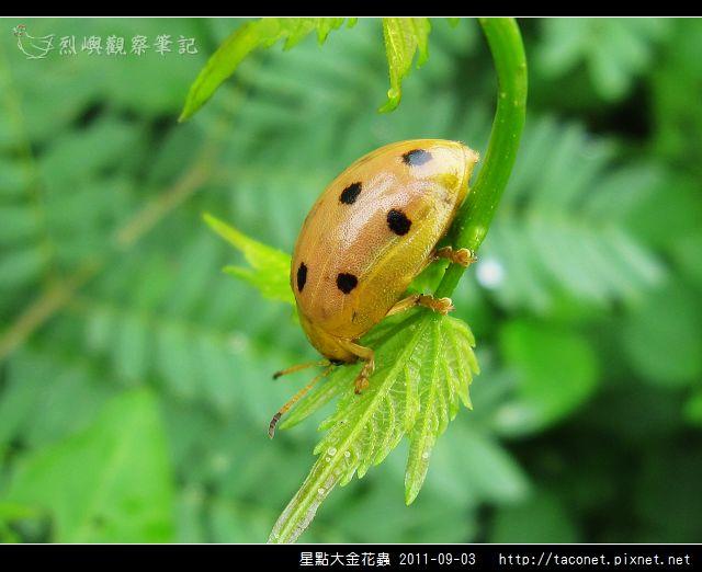 星點大金花蟲_03.jpg