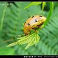 星點大金花蟲_05.jpg