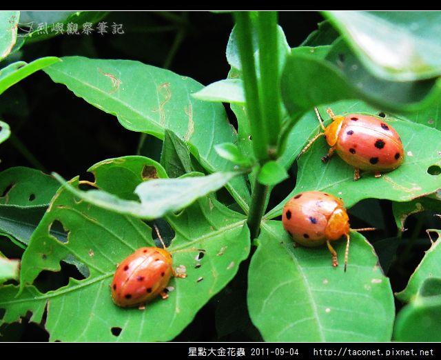 星點大金花蟲_09.jpg