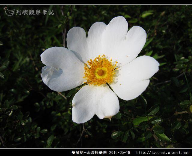 薔薇科-琉球野薔薇_07.jpg