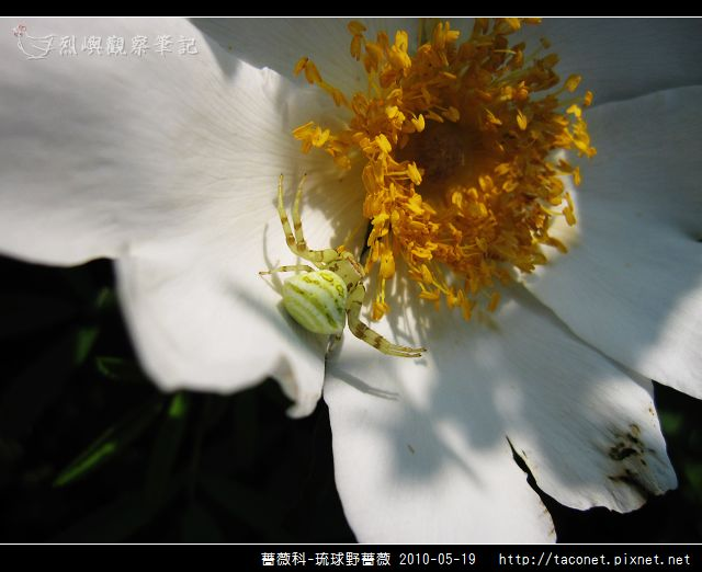薔薇科-琉球野薔薇_10.jpg