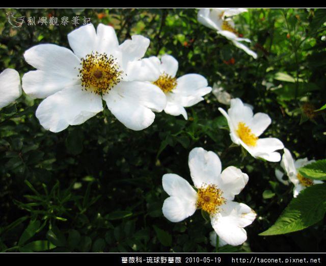 薔薇科-琉球野薔薇_11.jpg