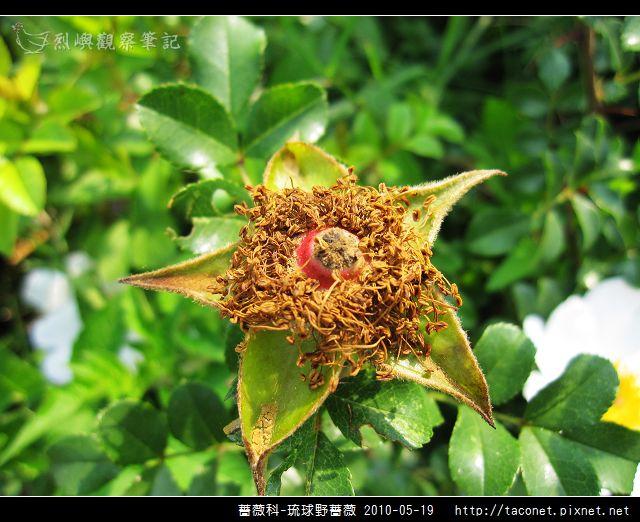 薔薇科-琉球野薔薇_12.jpg