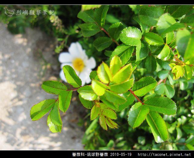 薔薇科-琉球野薔薇_13.jpg