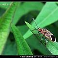 半翅目-紅腺長椿象_05.jpg