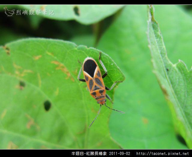 半翅目-紅腺長椿象_06.jpg
