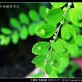 大戟科-五蕊油柑_02.jpg