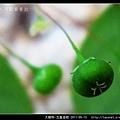 大戟科-五蕊油柑_10.jpg