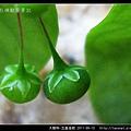 大戟科-五蕊油柑_11.jpg