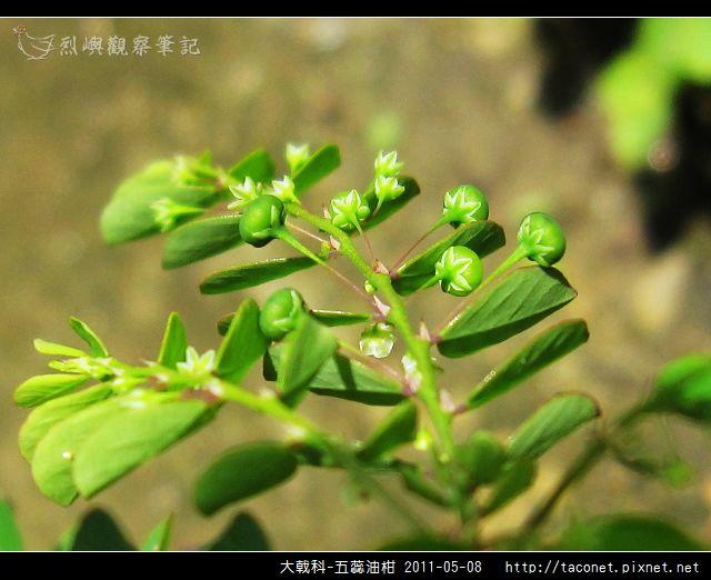 大戟科-五蕊油柑_12.jpg