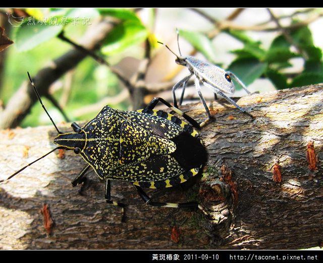 黃斑椿象_03.jpg