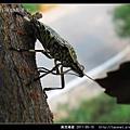 黃斑椿象_05.jpg