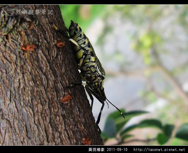 黃斑椿象_06.jpg