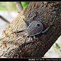 黃斑椿象_09.jpg