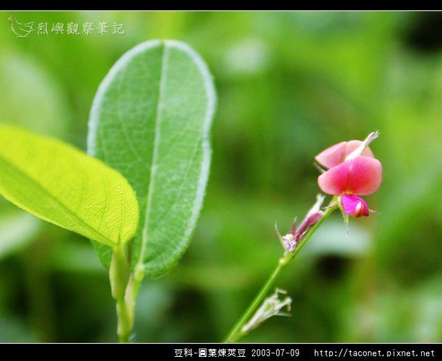 豆科-圓葉煉莢豆_01.jpg
