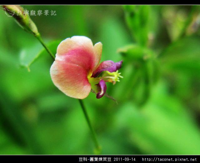 豆科-圓葉煉莢豆_02.jpg