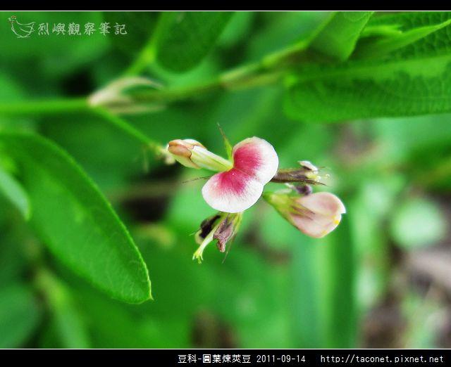 豆科-圓葉煉莢豆_04.jpg