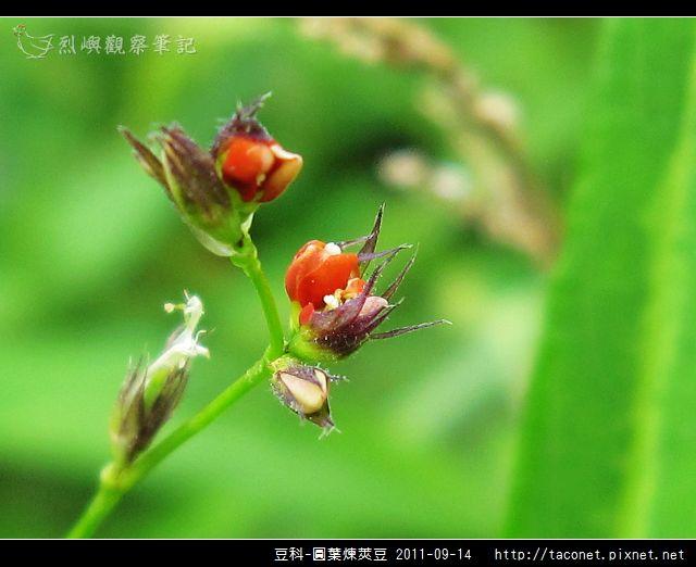 豆科-圓葉煉莢豆_06.jpg