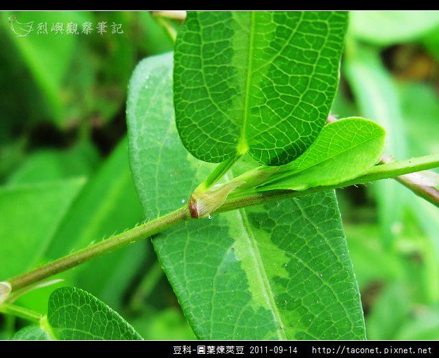 豆科-圓葉煉莢豆_05.jpg