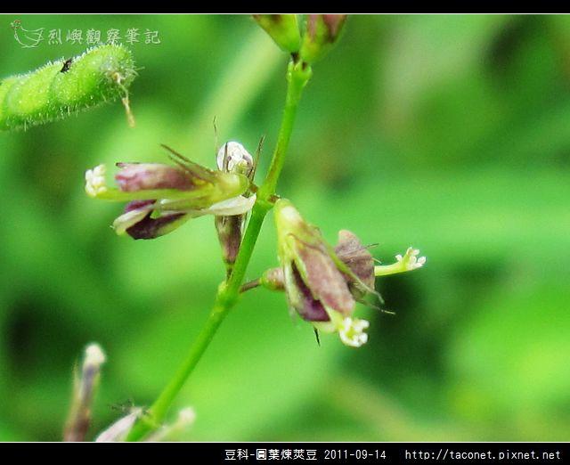 豆科-圓葉煉莢豆_07.jpg