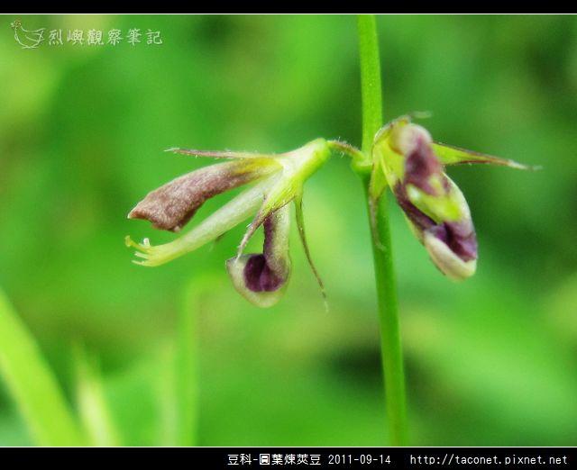 豆科-圓葉煉莢豆_10.jpg