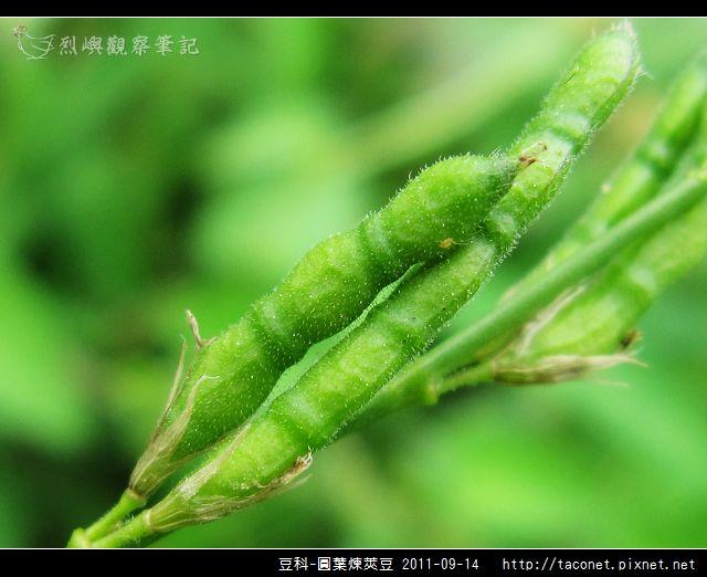 豆科-圓葉煉莢豆_09.jpg
