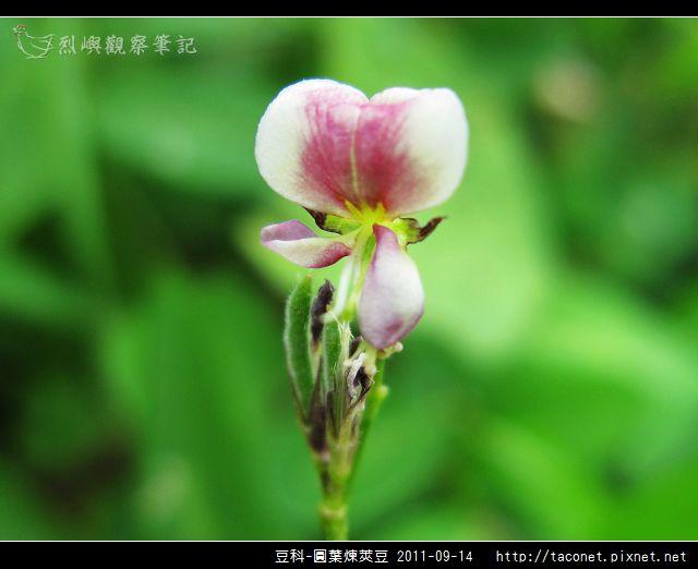 豆科-圓葉煉莢豆_11.jpg