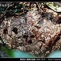 膜翅目-黃腰虎頭蜂_02.jpg