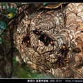 膜翅目-黃腰虎頭蜂_03.jpg