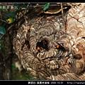 膜翅目-黃腰虎頭蜂_04.jpg