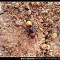 膜翅目-黃腰虎頭蜂_05.jpg