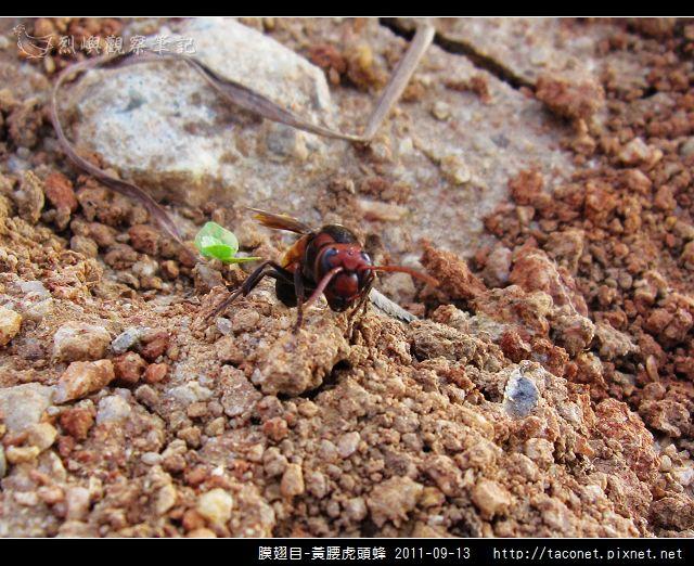 膜翅目-黃腰虎頭蜂_09.jpg