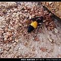膜翅目-黃腰虎頭蜂_08.jpg