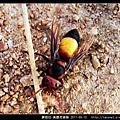 膜翅目-黃腰虎頭蜂_10.jpg
